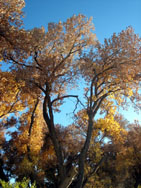 Fall foliage along the Rio Grande, Albuquerque
